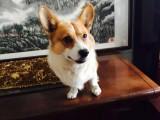 北京出售 柯基幼犬 純種健康保障 疫苗驅蟲已做 簽協議包售后