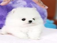 杭州博美犬 本地养殖狗场一直销各种世界名犬 常年售卖
