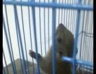 16年头窝黄山松鼠