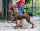出售纯种德系 美系杜宾 专业繁殖犬舍 健康品质保证
