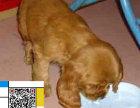 高品质的可卡幼犬出售了 疫苗做完 质量三包