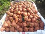 黄金梨批发价格 河南周口黄金梨大量上市