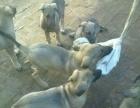 出售马犬杜高格力比特博美比熊博美