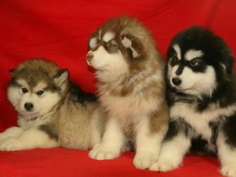 西安狗狗之家长期出售高品质阿拉斯加 秋田 雪纳瑞 售后无忧