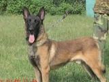 大型养殖场出售纯种马犬,杜高,惠比特,猎兔犬