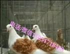 摩登娜种鸽价格、元宝鸽价格、出售观赏种鸽