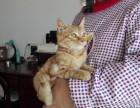 找好心人领养5个月大的猫,母,菊猫