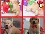 佛山狗场出售多个宠物品种 纯种金毛犬 品质好纯血统健康签协议