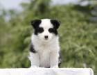 乌鲁木齐纯种边境牧羊犬价格,乌鲁木齐哪里能买到纯种边境牧羊犬