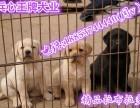3个月拉布拉多犬 德牧犬 狼青犬出售