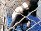 2~4个月马犬幼犬出售,撕咬能力强,服从能力好,适应强