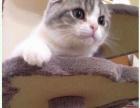 1只折耳猫找好心人接收