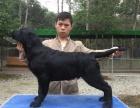 出售纯种拉布拉多幼犬黑色的和黄色的均可以挑选