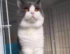 幸福猫苑名猫世家种公借配出售小猫