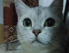 诚心出售家养纯种宠物猫,看过都喜欢 照片实拍