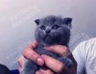 配猫,CFA高品质英短种公,找对象,借配