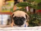 网红巴哥犬 丰富的表情控 萌萌滴小眼神 包纯种