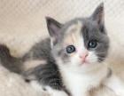 英国短毛猫三花 乳白