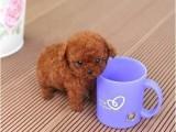 南京出售纯种泰迪活体幼犬迷你型茶杯子犬双血统泰
