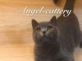 【安琪猫舍】到家挑选蓝猫幼猫、英国短毛猫、折耳立耳