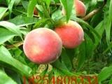 临沂桃树苗出售基地 桃原生苗出售基地