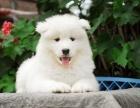 上海萨摩耶狗场 纯种萨摩耶犬价格 萨摩耶行情
