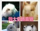 垂耳兔 侏儒兔 猫猫兔