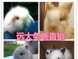 山西远大兔场 垂耳兔 侏儒兔 猫猫兔 兔场直营