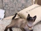 家养纯种暹罗猫转让