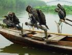 桂林附近哪里出售鱼鹰.鸬鹚