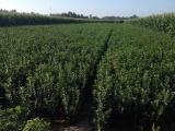 山东品种好的瓜子黄杨供应——大叶黄杨