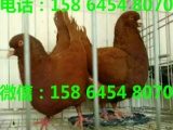 荆州特大元宝鸽多少钱2斤以上公斤元宝鸽价格