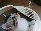 长期出售美短猫咪