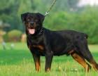 自己繁殖犬舍,家养罗威纳包纯种健康,可以上门挑选,签协议