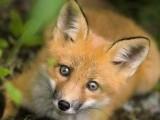 万狐语 宠物狐狸养育技巧 宠物狐狸饲养