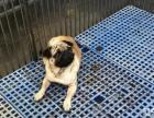 巴哥、比.格幼犬 实物拍摄 纯种健康质保可签协议