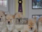 犬舍直销-纯种松狮-包健康包纯种送用具