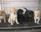 拉布拉多犬三个月 驱虫疫苗已做完 购买签订活体协议