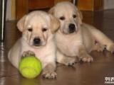 价格合理 送用品多多,包疫苗健康 拉布拉多犬