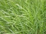 供应云南养羊用的牧草种子