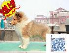 上海哪里有卖喜乐蒂的 喜乐蒂一般多少钱