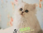 出售精品加菲猫 波斯猫 金吉拉 异国短毛猫 保健康
