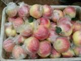山东早熟苹果批发价格行情哪里便宜