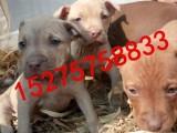 银川出售纯种比特犬欢迎上门挑选 售后健康有保障