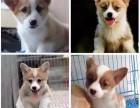 上海本地出售一柯基一萨摩耶一比熊一哈士奇一边牧一巴哥一柴犬等
