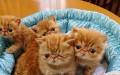 专业繁殖精品加菲猫疫苗齐全 活泼可爱 超长保质支持货到付款