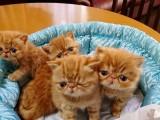 专业繁殖精品加菲猫 帅气拉风 活泼可爱 血统纯正