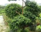 深圳沙井室内植物养护