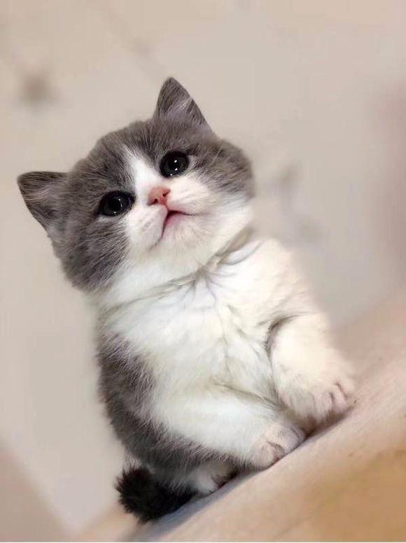 郑州哪里有英短猫卖 专业繁殖 公母均有 包纯种包健康