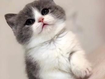 北京哪里有美短猫虎斑加白卖 纯血统 萌翻你的眼球 品质保障